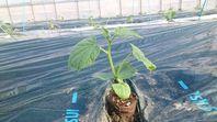 きゅうりの苗を植えました